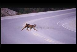 Lynx crossing highway