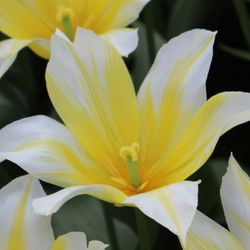Tulip Budlight!