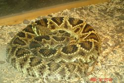 eastern diamondback rattler