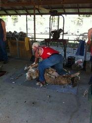 Guns of Alexandra shearing demo