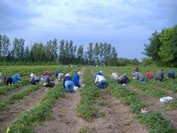 Field full of pickers
