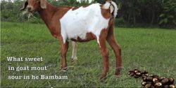 WHAT SWEET IN GOAT MOUT' SOUR IN HE BAM BAM