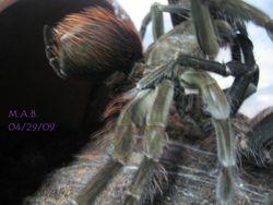 Megaphobema velvetosoma