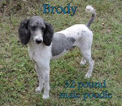 Brody, 32 pound poodle