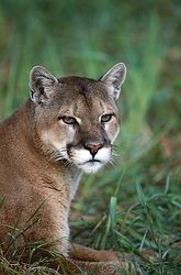 Could Tea be a Cougar?