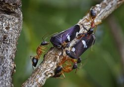 Ants tending bugs
