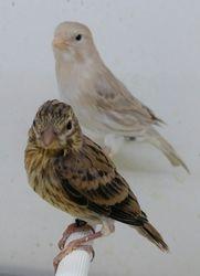 silver isabel canary & Alario mule