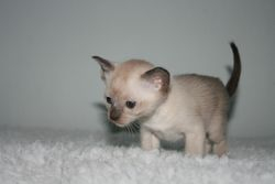 1 month old Brown Point Boy