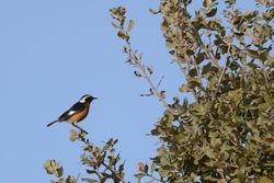 Moussier's Redstart  (RUBIETTE DE MOUSSIER)