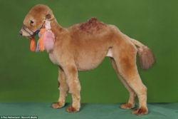 CAMEL RIDE ANYONE