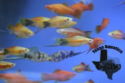 Swordtail and Platys