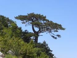 Pinus leucodermis in Llogara NP.