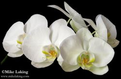 White Orchid Spray