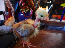 Tessa the Transylvanian Naked Neck chicken