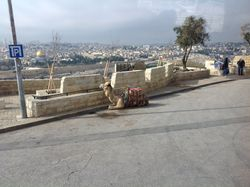 Camel at the Mount of Olives