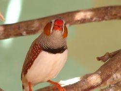 Singing Finch