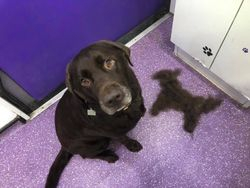 A Labrador with the dead hair removed