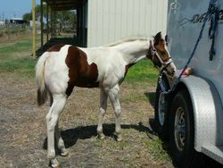 Weanling - APHA bay tovero filly by Sparks Black Jack