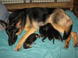 TAZZ AND HER LITTER OF FOUR