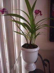 Orquídea Bletilla striata