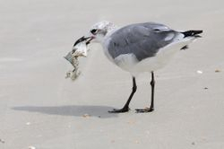 Mouette rieuse - Laughing gull