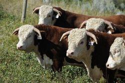 2012 Bull Sale offering
