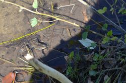Frog at Creek