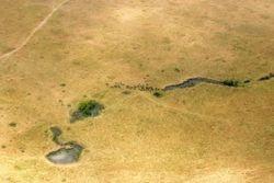 Gnus at waterhole, Masai Mara, Kenya.
