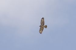 Buzzard (Buse variable)