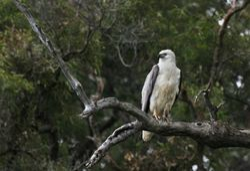 Sea Eagle 1