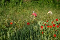 Cycling through poppies