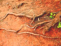 Roots from Hanging Rock State Park