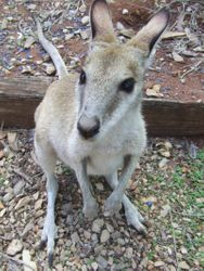 Annie the Agile Wallaby