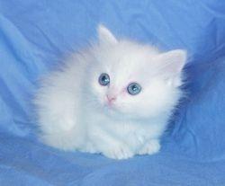 Uki's white blue-eyed girl, longhair