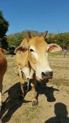 Cow at Karen longneck village
