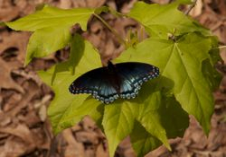 Butterfly on Sweetgum