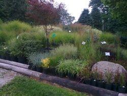 A huge selection of ornamental grasses