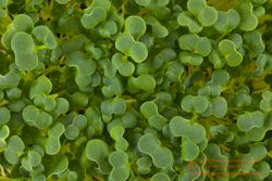 YUKINA SAVOY microgreens, 7 days since sown