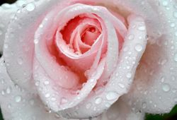 Rose and Raindrops 2