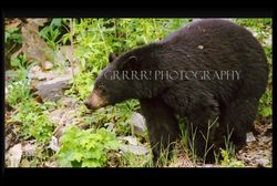 Black Bear eating new shoots