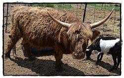 Moshi the Scottish Highland Bull