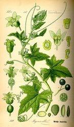 White bryony Illustration