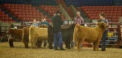 Junior Heifer Calves