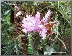 Tillandsia cacticola $15.00