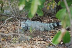 Wild Iguana at Napoleon's Fort