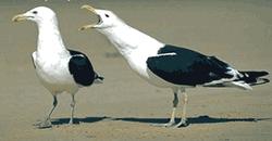 the sea gulls