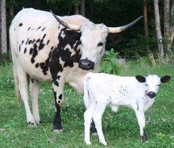 Oreo and calf
