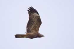 European Honey Buzzard  (BONDREE APIVORE)