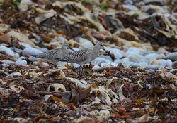 Bar-tailed Godwit   (BARGE ROUSSE)