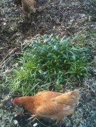 Chickens!!